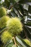 Castanea sativa, sweet chestnuts hidden in spiny cupules, tasty brownish nuts marron fruits, branches with leaves. Late summer season Stock Image