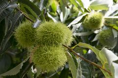 Castanea sativa, sweet chestnuts hidden in spiny cupules, tasty brownish nuts marron fruits, branches with leaves. Late summer season Stock Images