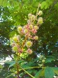 Castanea sull'albero Fotografia Stock