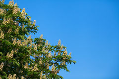 Castanha branca de florescência Foto de Stock