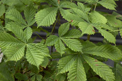 Castanha-da-índia (hippocastanum do aesculus) infestada com as larvas do mineiro de folha da castanha-da-índia (ohridella de Came Foto de Stock Royalty Free