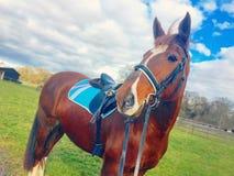 Castanha de cavalo Mare Equine Red fotografia de stock