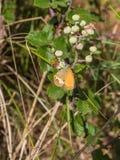 Castanha Heath Butterfly em Blackberry arbusto fotos de stock royalty free