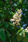 Castanha na flor, fundo da natureza da mola Fotografia de Stock
