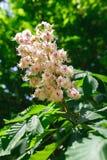 Castanha na flor, fundo da natureza da mola Fotos de Stock