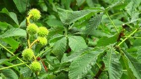 Castanha verde e espinhosa da noz no ramo na chuva filme