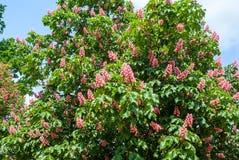 Castanha vermelha de florescência contra o céu azul Imagem de Stock Royalty Free