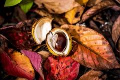 Castanhas-da-índia e Autumn Leaves, Oxford Reino Unido Imagens de Stock