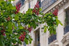 Castanhas de florescência Foto de Stock Royalty Free