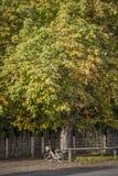 Castanhas frescas que penduram em árvores Imagens de Stock