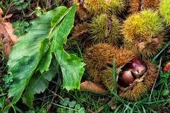 Castanhas, fruto da árvore de castanhas & x28; Sativa& x29 do Castanea; Fotografia de Stock
