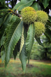 Castanhas, fruto da árvore de castanhas & x28; Sativa& x29 do Castanea; Foto de Stock