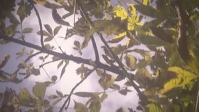 Castanhas maduras video estoque