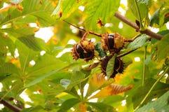 Castanhas na árvore Imagens de Stock Royalty Free
