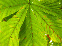 Castania leaf at closeup outdoors in daylight Royalty Free Stock Photos