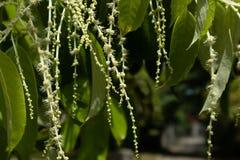 Castanopsisfissamästare före detta Benth Rehd och Wils-Castanopsis chinensis Hance Fotografering för Bildbyråer