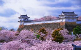 Castello di Himeji e fiore di ciliegia bianchi fotografia stock