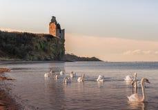 Castello Greenan da Ayr & dai cigni Immagine Stock