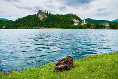 Castello sanguinato con il lago ed anatra in Slovenia Immagine Stock Libera da Diritti