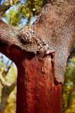 Castellon alcornocal en árboles de corcho de Sierra Espadan Fotos de archivo libres de regalías