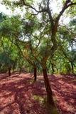Castellon alcornocal in Sierra Espadan cork trees Royalty Free Stock Photos