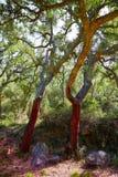 Castellon alcornocal in Sierra Espadan cork trees Stock Images