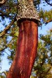 Castellon alcornocal in Sierra Espadan cork trees Stock Photography