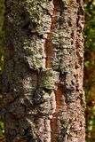 Castellon alcornocal in Sierra Espadan cork trees Royalty Free Stock Image