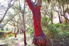 Castellon alcornocal in Sierra Espadan cork trees Royalty Free Stock Images