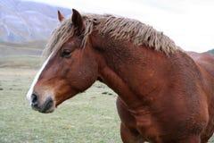 castelluccio detalj di häst norcia Arkivfoton