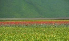 Castelluccio di诺尔恰的培养的和用花装饰的领域 库存图片