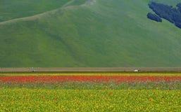 Castelluccio di诺尔恰的培养的和用花装饰的领域 免版税库存图片