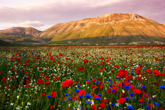 Castelluccio di Norcia, flowering Stock Photography