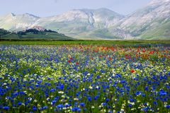 Castelluccio di Norcia, flowering Stock Photo