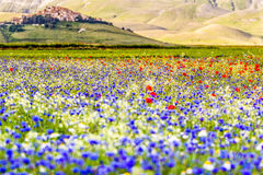 Castelluccio di Norcia, flowering Royalty Free Stock Photo