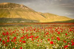 Castelluccio di Norcia, flowering Royalty Free Stock Photos