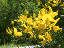 Castelluccio di Norcia. Flowers Royalty Free Stock Image