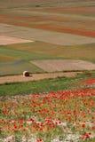 Castelluccio di Norcia/Mohnblumen u. färbte Felder Lizenzfreies Stockbild