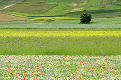 Castelluccio flowers hills. Fantastic colors in fields and hills of castelluccio di norcia, italy Royalty Free Stock Images