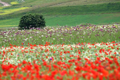 Castelluccio flowers hills. Fantastic colors in fields and hills of castelluccio di norcia, italy Royalty Free Stock Image