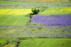 Castelluccio flowers hills. Fantastic colors in fields and hills of castelluccio di norcia, italy Stock Photography