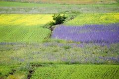 Castelluccio flowers hills Stock Photography