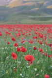 Castelluccio Lentils Blooming Summer Italy. Castelluccio is infamous for their lentil flowering every July, but the Apennine Mountain Range has so much more to royalty free stock images