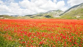 Castelluccio Lentils Blooming Summer Italy. Castelluccio is infamous for their lentil flowering every July, but the Apennine Mountain Range has so much more to stock photos