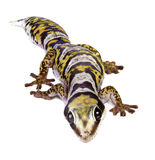 Castelnau's Velvet Gecko Stock Photos