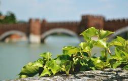 Castelvecchio桥梁,维罗纳,意大利 在照片、被弄脏的桥梁和河前面的绿色常春藤背景的 库存图片