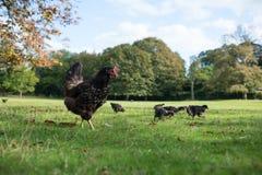 Castilian schwarze Hühnerhenne, die ihre Küken für einen Weg nimmt Stockbild