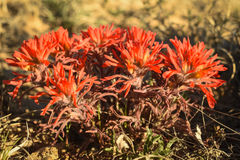 Castilleja de los Wildflowers de la brocha india Imagen de archivo