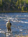 Casting. Fly fishermancasting in river in Yellowstone national Park royalty free stock image