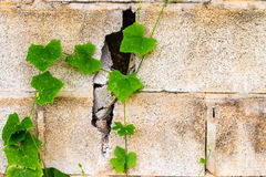 Castle brick wall background with green plant Stock Photography
